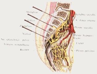 anatomicheskie-oblasti-dostupnye-dlya-massazha-vnutrennix-organov-2